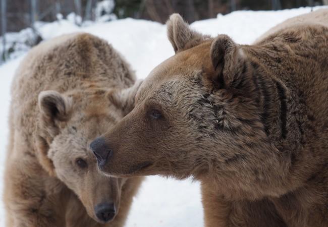 Bären Jerry und Vinzenz im Schnee