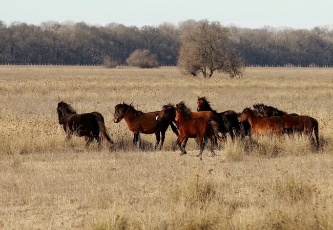 Die Wildpferde bewegen sich frei im Schutzgebiet