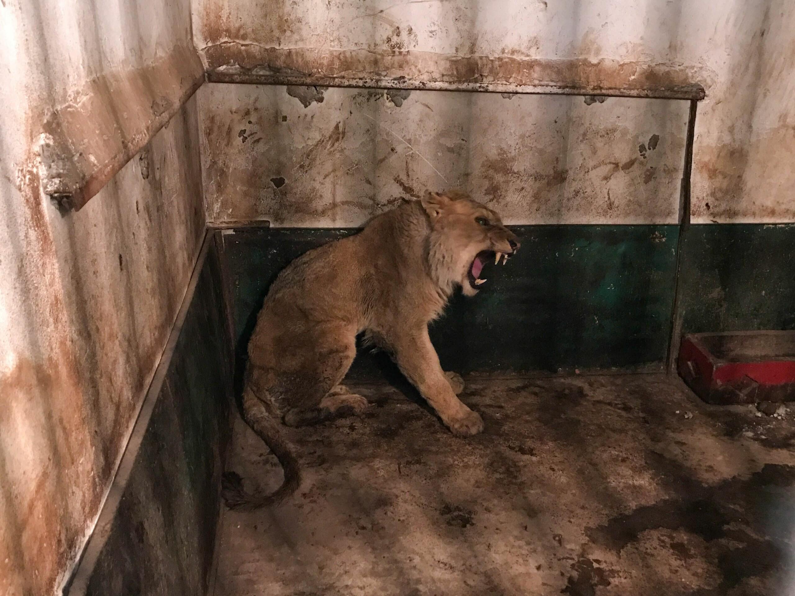 Een leeuw in gevangenschap