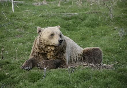 Bear Anik sitting in the grass
