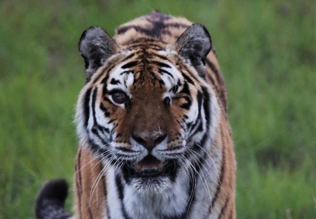 Tigress Juno in LIONSROCK
