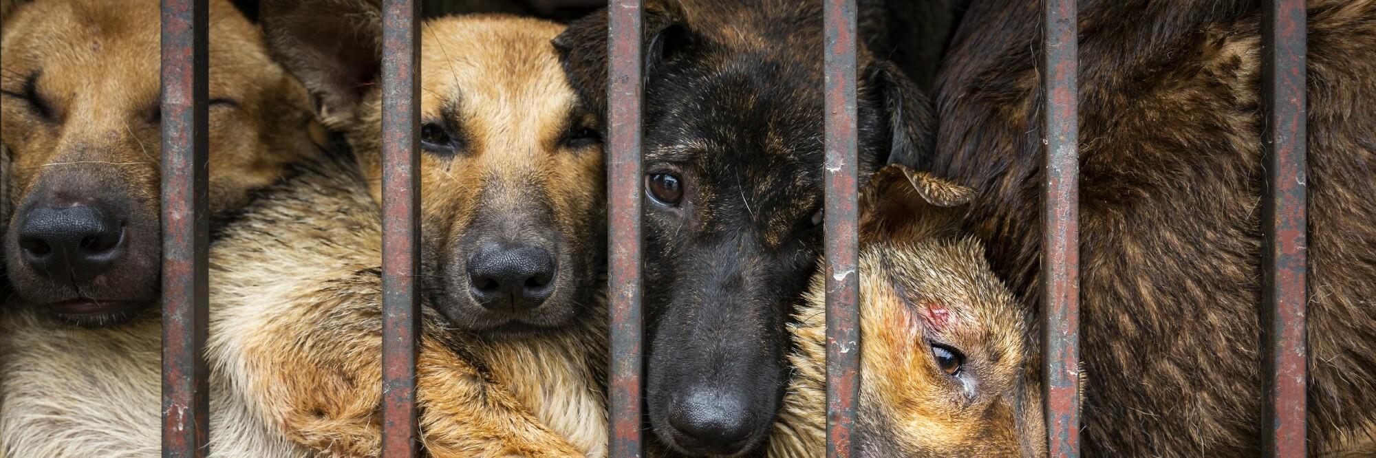 Những chú chó bị nhốt trong chuồng