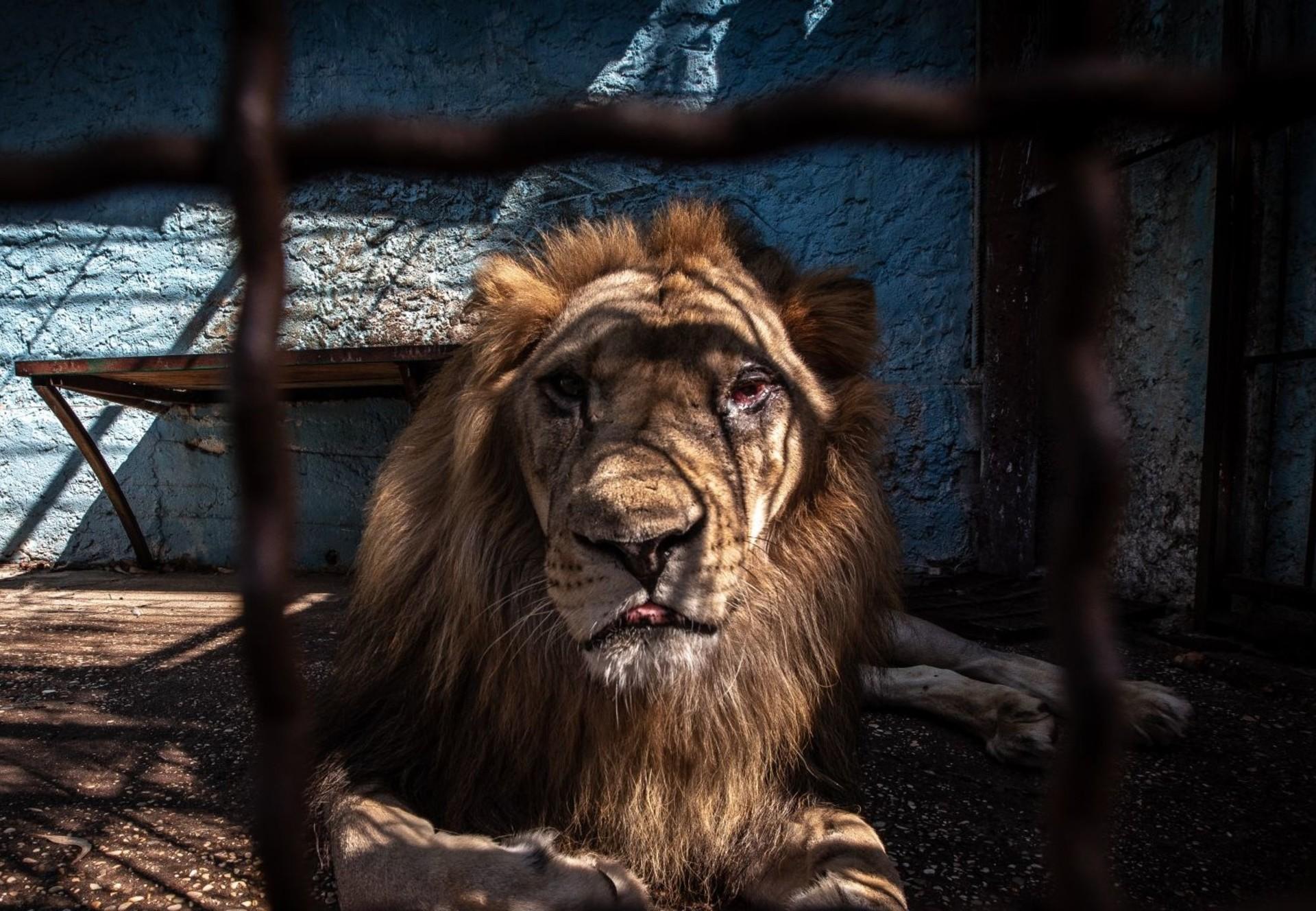 Löwe wird aus dem Safari Park Zoo gerettet