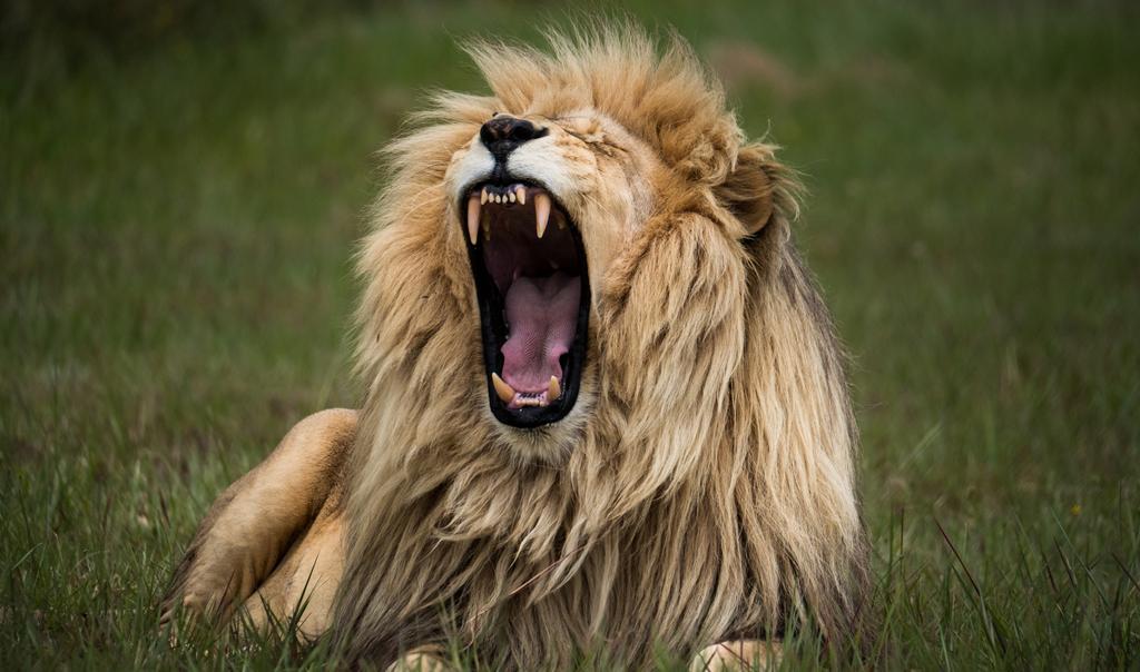 Animal Charity - Lion Road