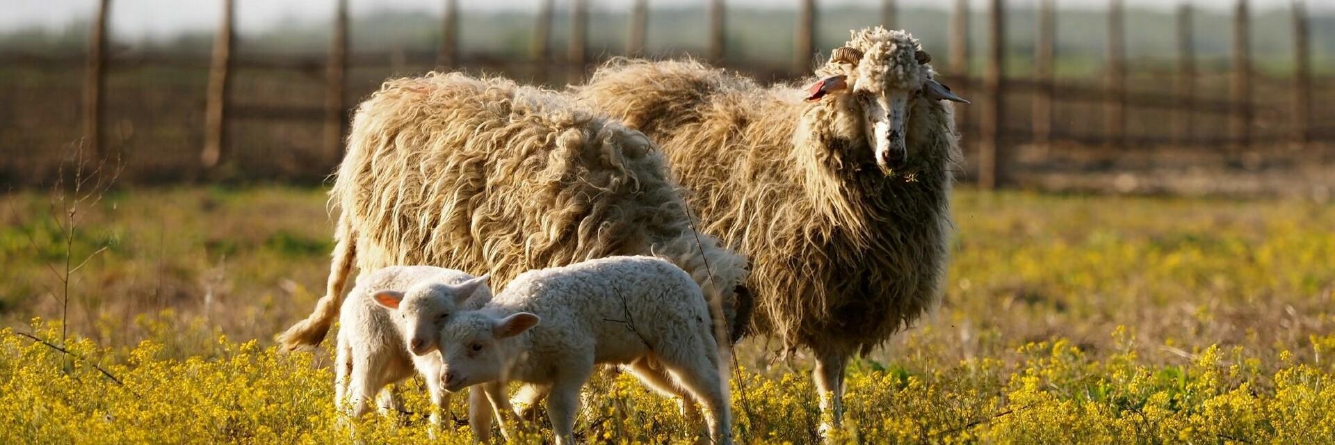 Gerettete Schafe in Rumänien