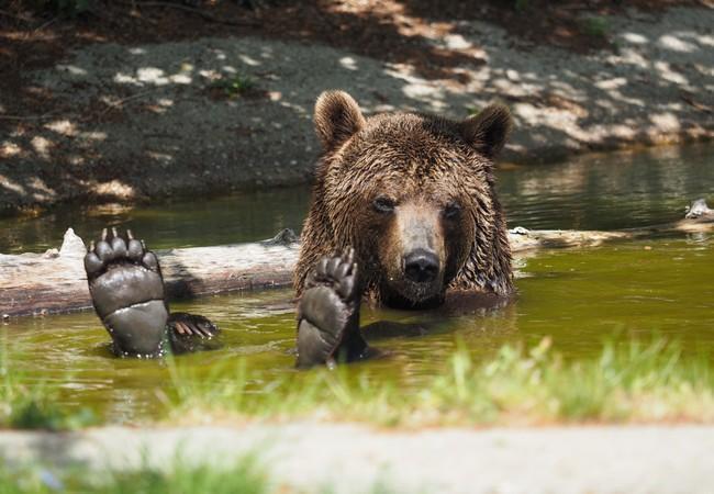Bear Erich at BEAR SANCTUARY Arbesbach, Austria