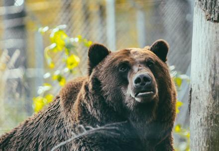 Bear Potap