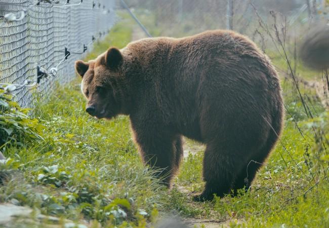 Bear Julia in her outdoor enclosure