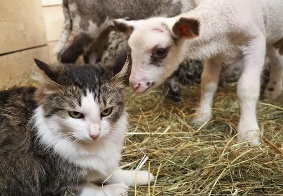 Lamb Mărțișor and cat