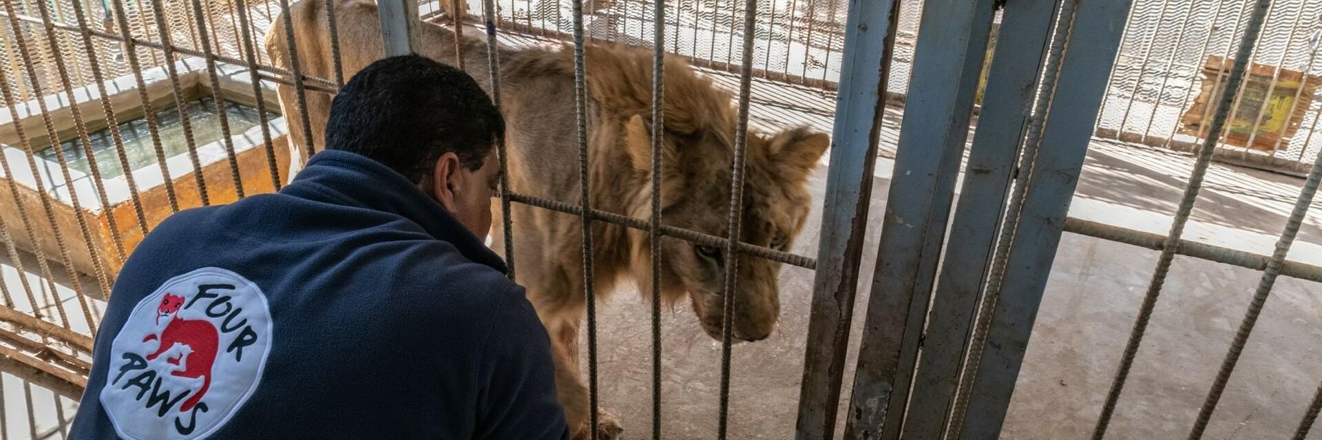 Löwe im Sudan wird von VIER PFOTEN versorgt