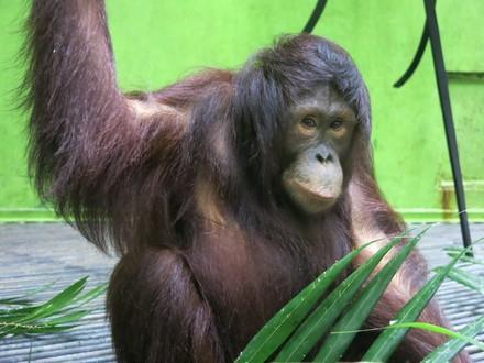 Orangutan Amalia
