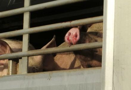 Schweine auf Tiertransport