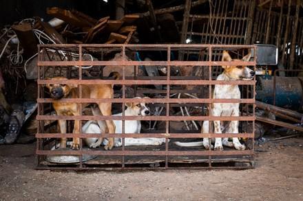 Rapport d'enquête : ce qui se passe VRAIMENT dans les abattoirs pour chiens au cambodge