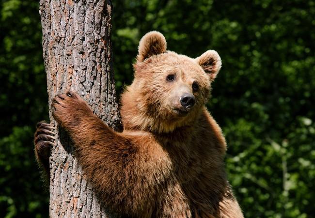 Bear Nastia