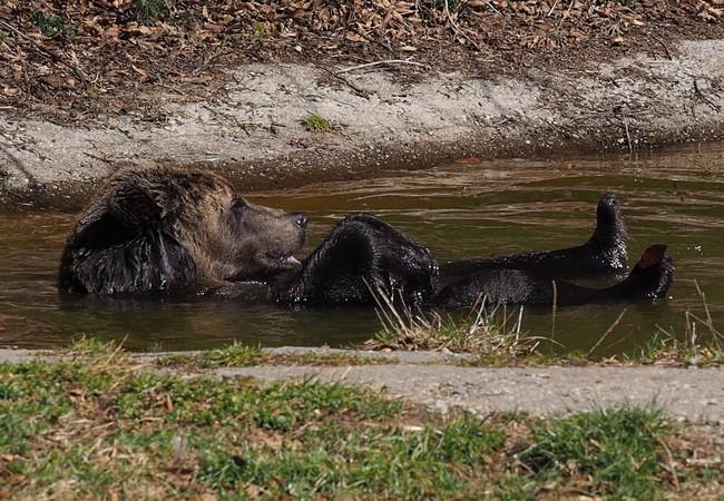 Der BÄRENWALD Arbesbach bietet den Tieren einen gemütlichen Teich. Bärin Emma weiß zu genießen.