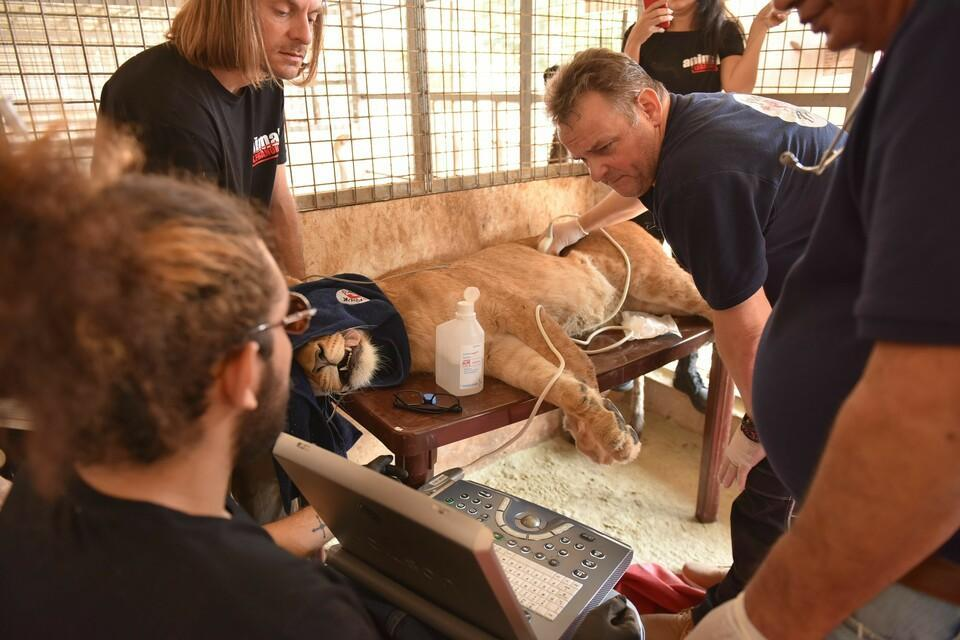 Vets giving medical care to an injured lion
