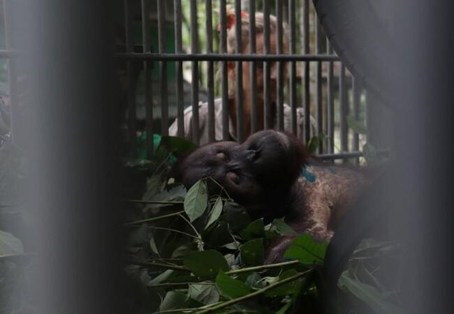 Orangutan Robin after his operation
