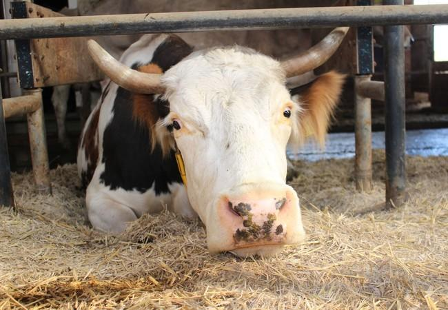 Kuh auf Strohbett