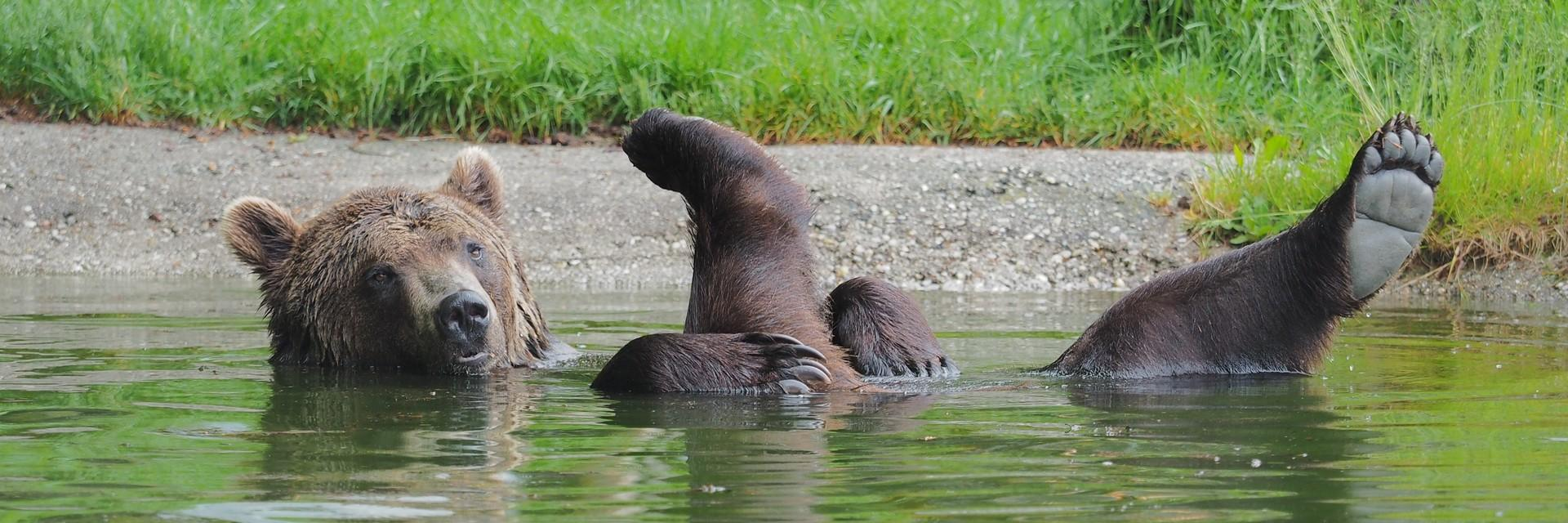 brown bear relaxed in the water stretches its legs out of the water