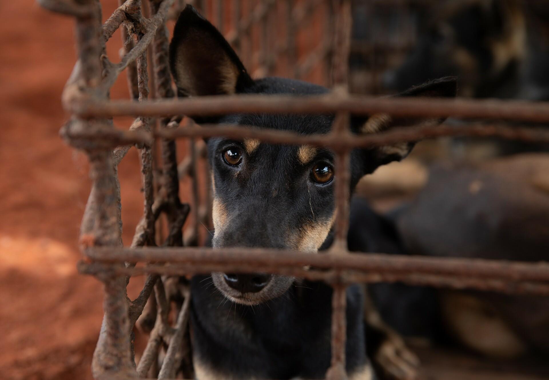 Hond in een kooi in een hondenslachthuis in Cambodja