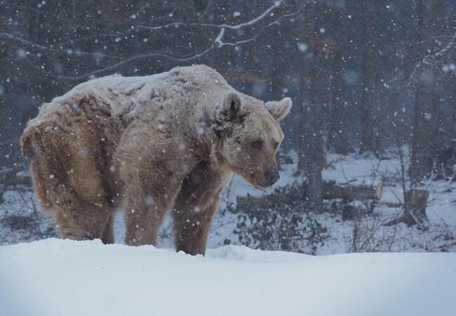 Braunbär Tom im Schneegestöber, im Hintergrund Bäume
