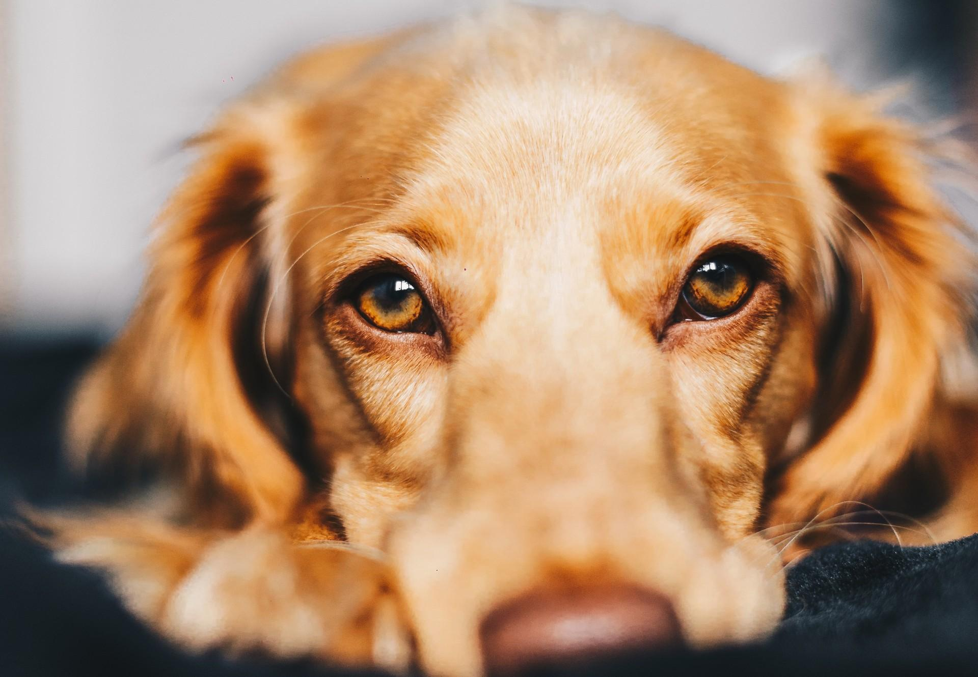 trauender Hund