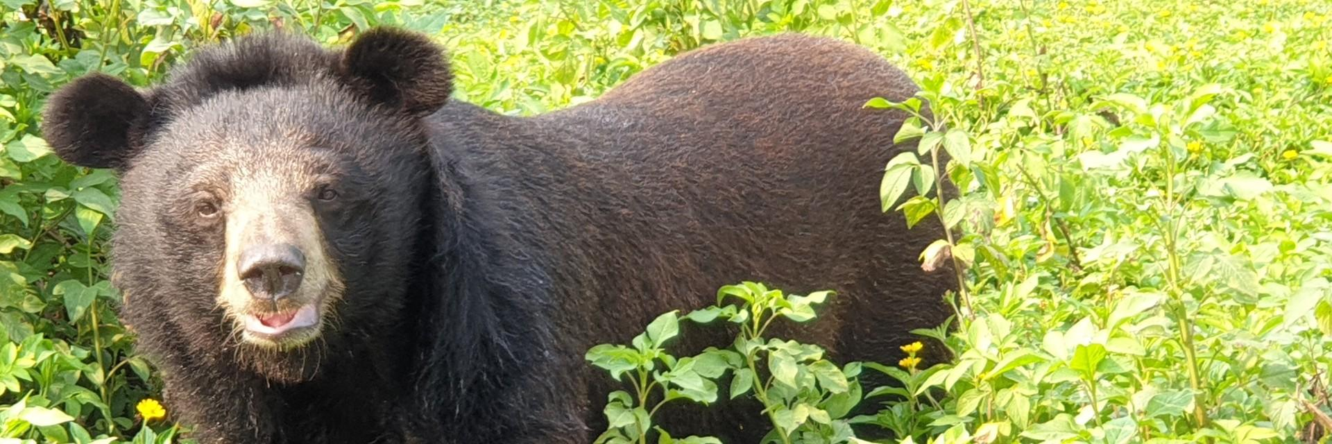 Rescued bear in our sanctuary