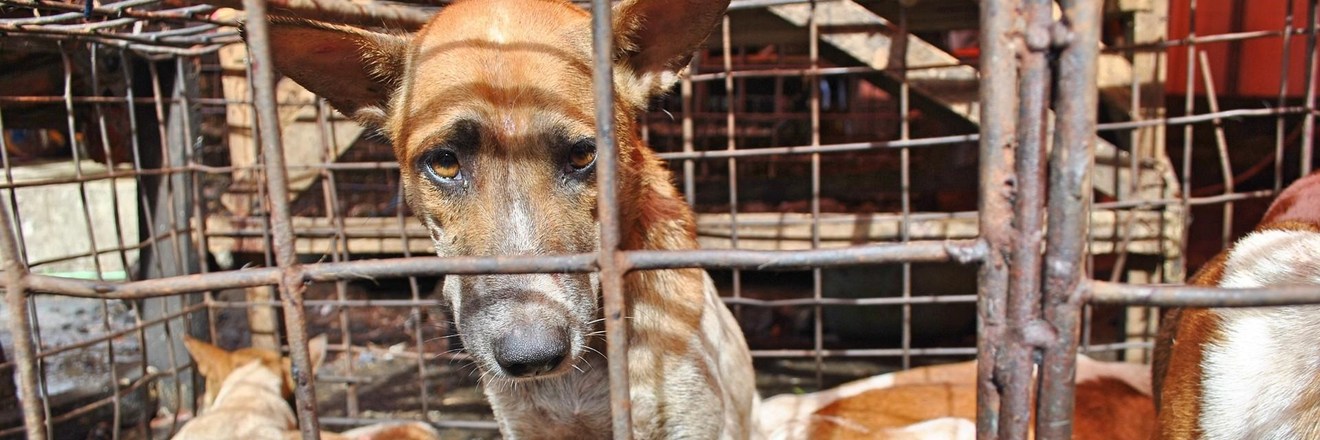 Dog in a cage in Indonesia