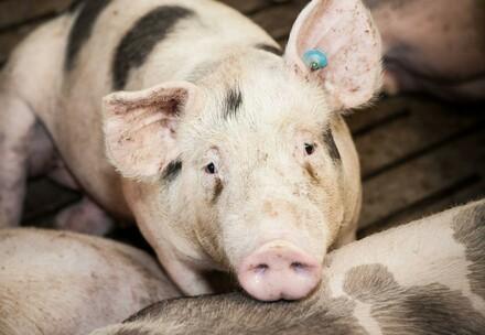 Schweine auf sogenannten Vollspaltenböden
