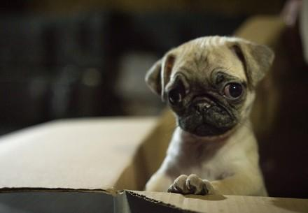 Hundewelpe in einem Karton