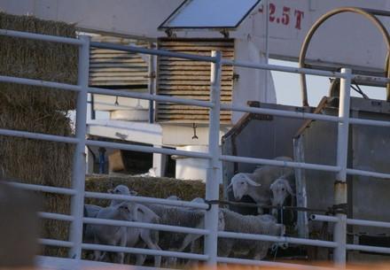 Schafe werden auf Transporter verladen