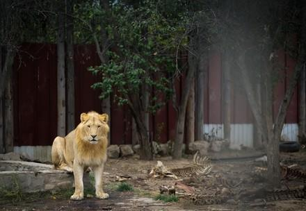 Löwe in Rumänien