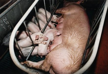 Schwein im Kastenstand mit Ferkel