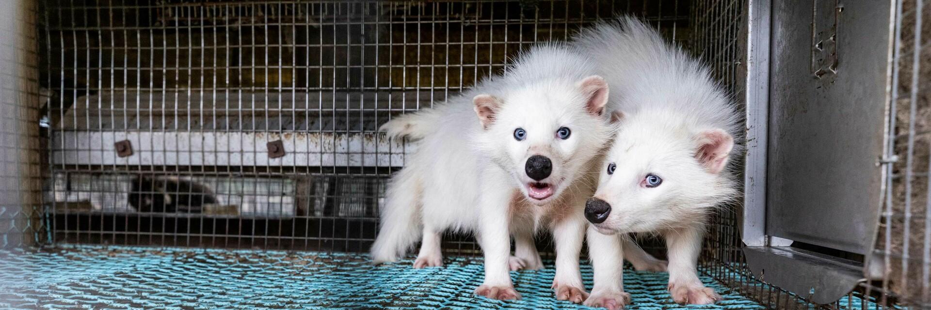 verängstigte Maderhunde auf Pelzfarm