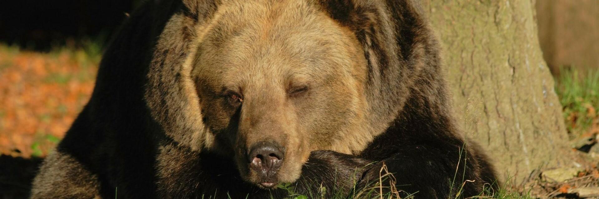 Brumca at BEAR SANCTUARY Arbesbach