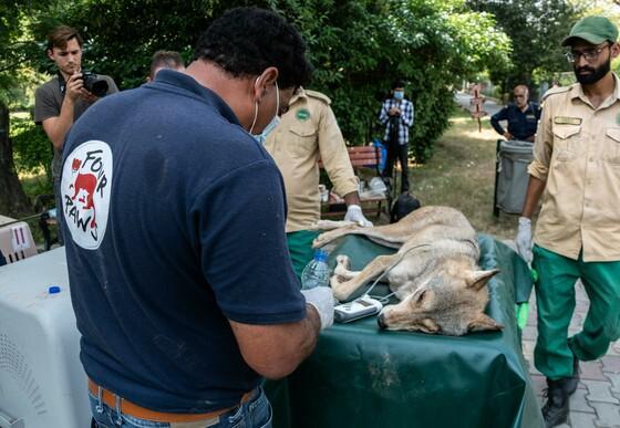Dr. Amir Khalil untersucht den Löwen vor dessen Transport