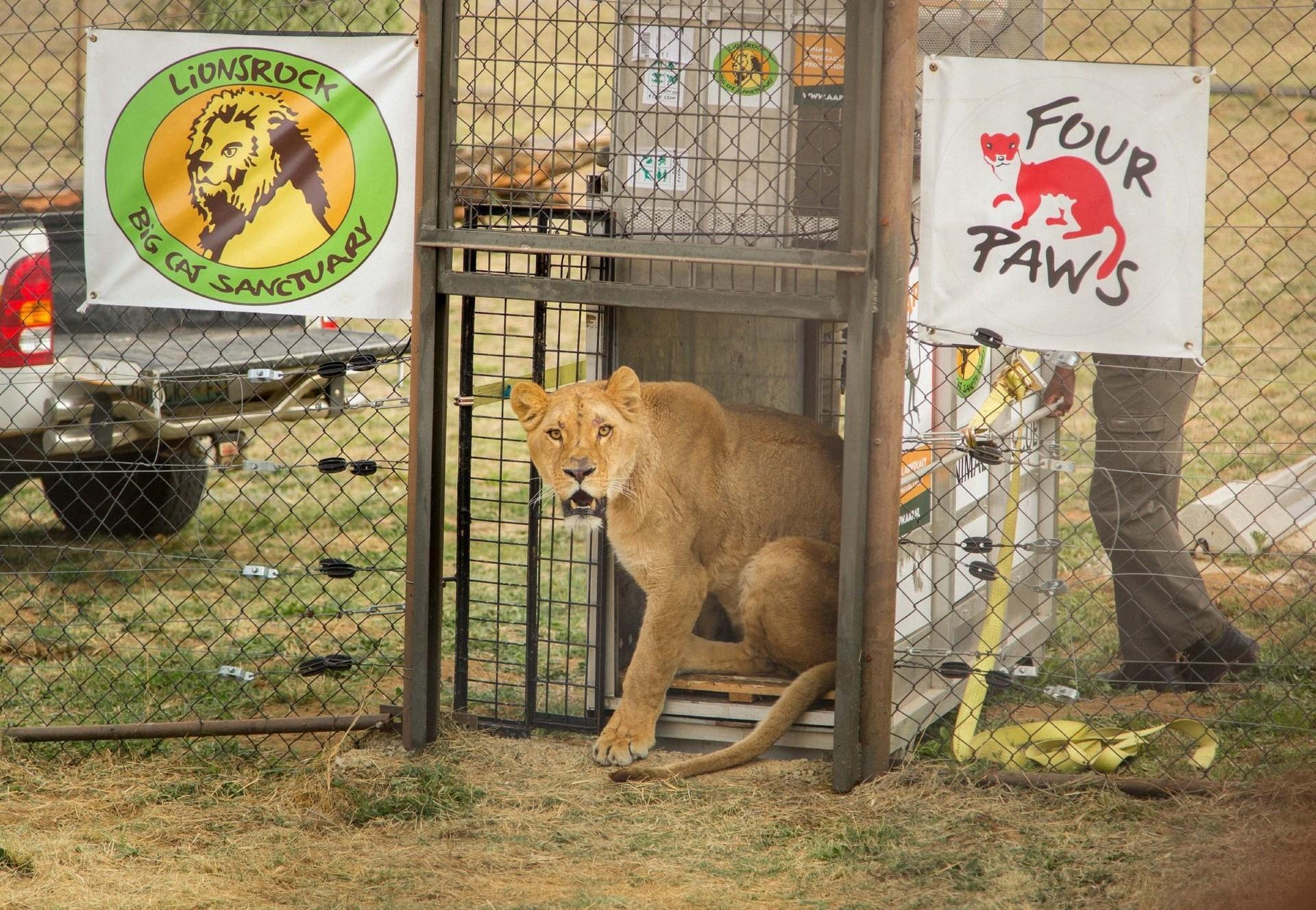 Löwin Nala kommt im Lionsrock an