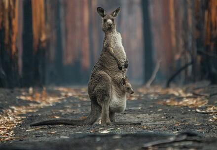 Kangaroo in a bushfire