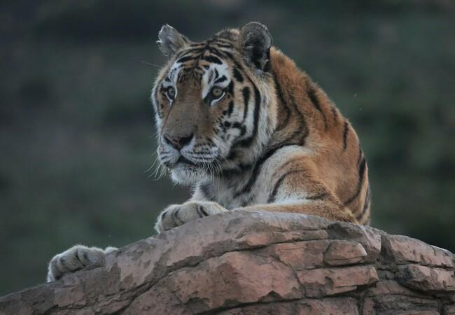 Tiger Tomi at LIONSROCK