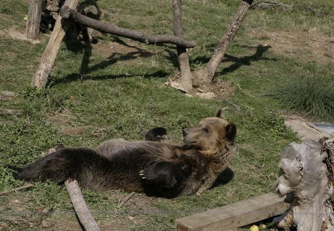 Brown bear Tomi sunbathing
