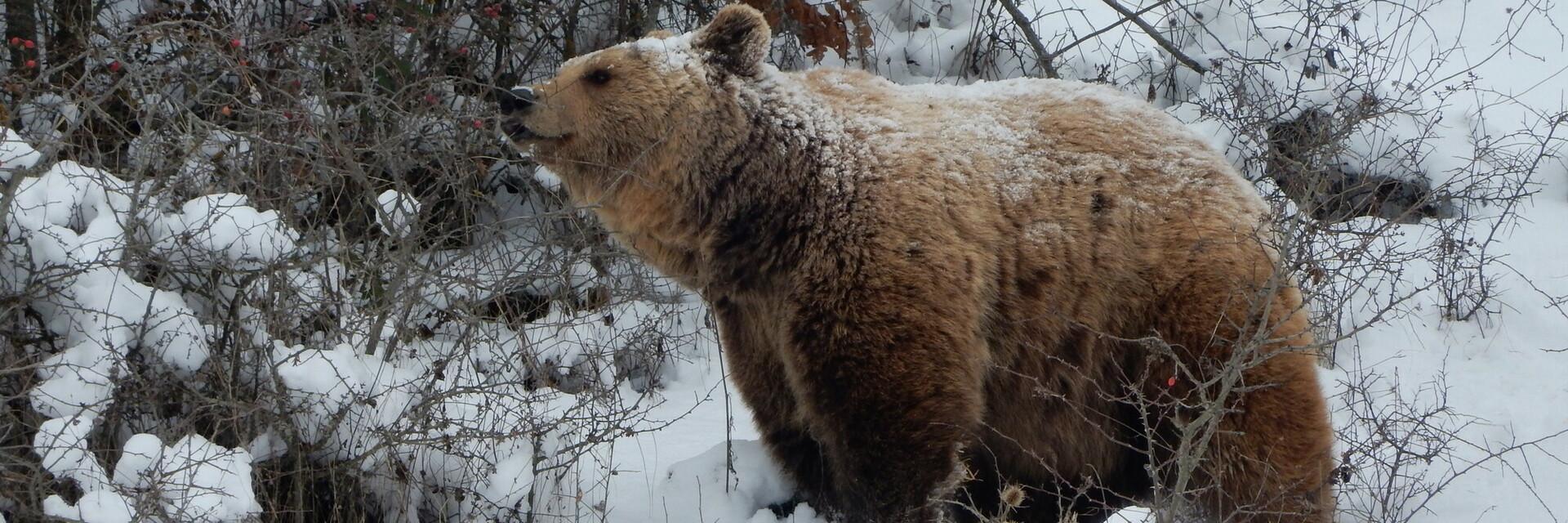 Bär Ero im Schnee