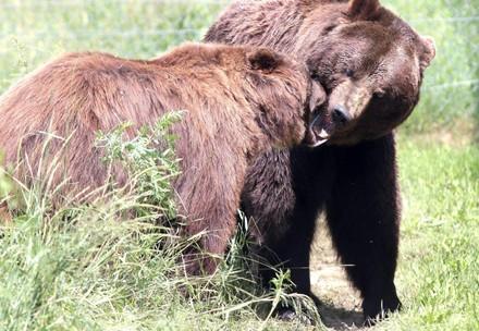 Bears Sirko and Ruta