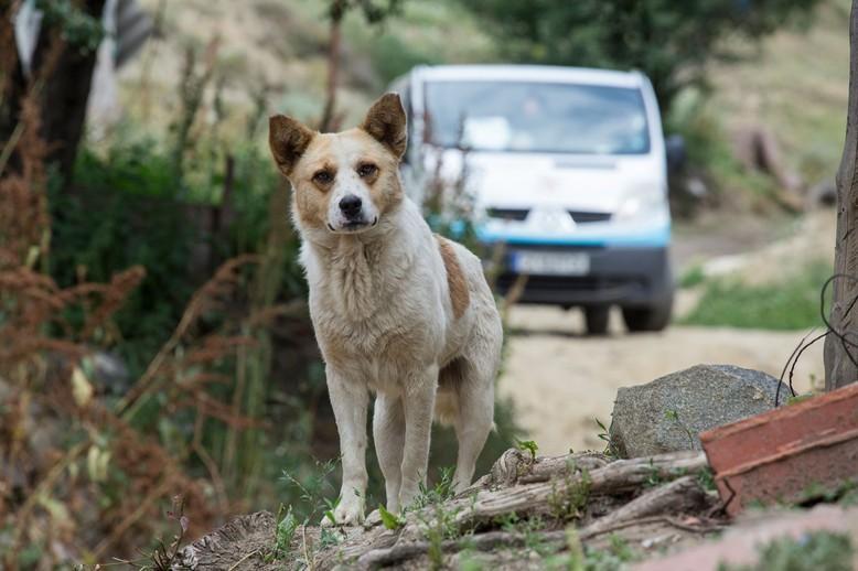 Stray Dog near Belitsa Bulgaria
