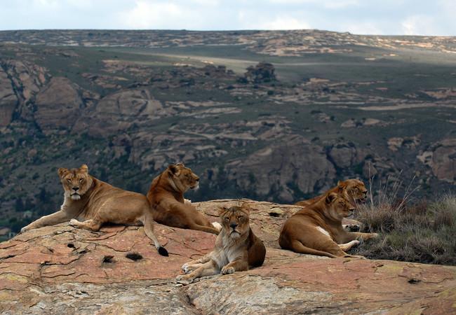 Troep leeuwinnen in LIONSROCK