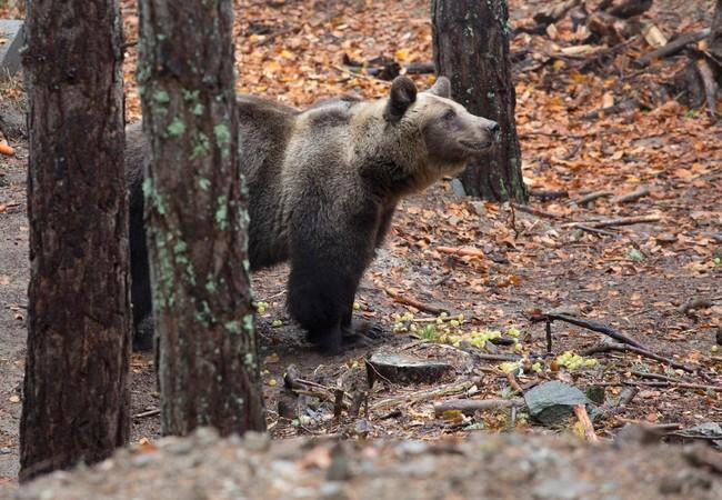 Bärin Suzana im Tanzbärenpark Belitsa