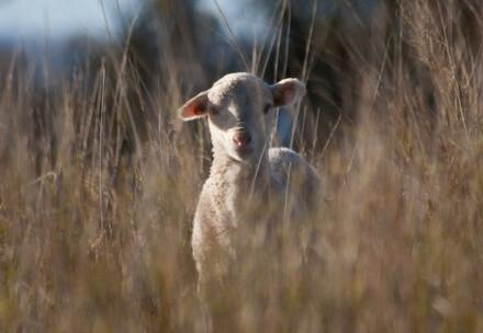 A cute Merino lamb looking at the camera