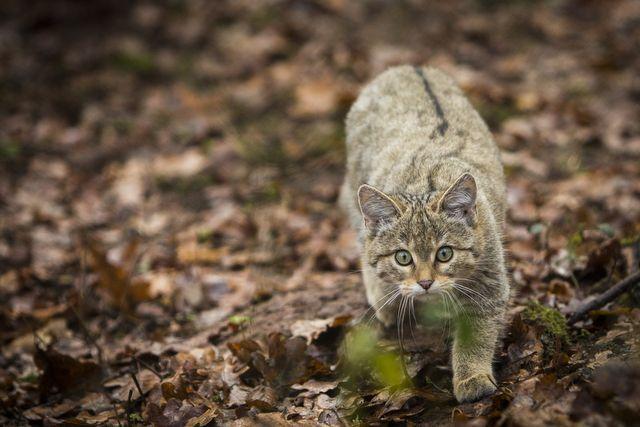 Wildkatze bei TIERART