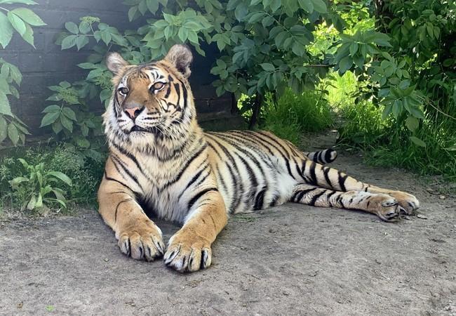 Tigerin Delhi in FELIDA