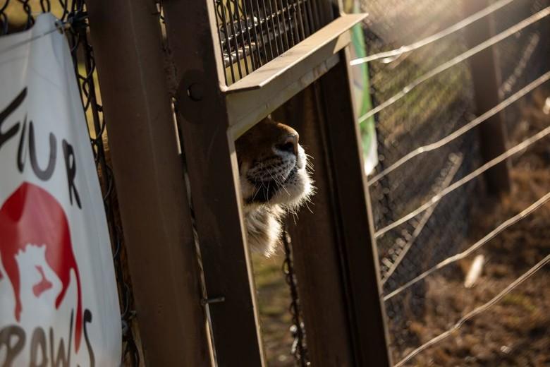Tiger Caruso in LIONSROCK (c) VIER PFOTEN
