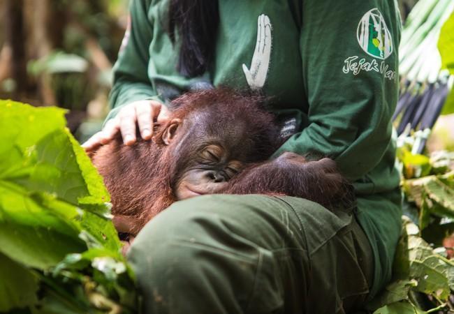 Orangutan Gonda sleeping on caregiver